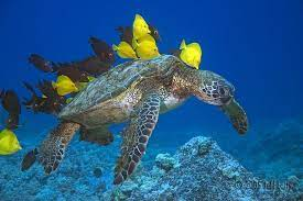 Photo courtesy Diving Kona Hawaii